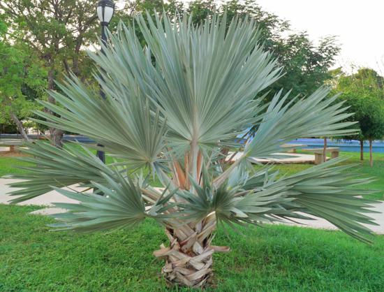 Braeha armata blue mexican palm palmera azul - Variedades de palmeras de exterior ...
