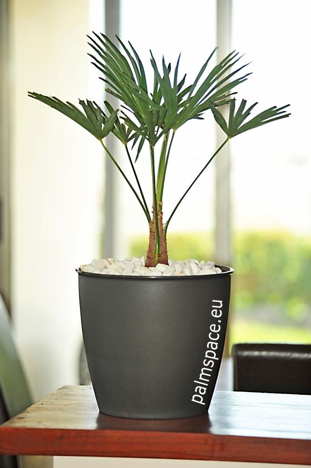 Trachycarpus Wagnerianus como planta de interior
